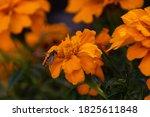 Bee On A Beautiful Orange...