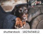 Doberman Dog Under A Wooden...