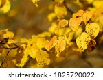 autumn yellow bright leaves on... | Shutterstock . vector #1825720022