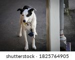Border Collie Dog Waiting For...
