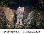 Eurasian Lynx  Lynx Lynx...