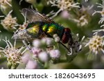 Common Green Bottle Fly ...