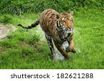 Tiger Running   Young Male...