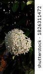 White Ixora Sp In The Garden