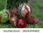 Large Open Chestnuts With Gree...
