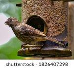 Female House Finch On A Bird...