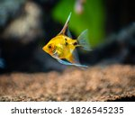Yellow Platinum Angelfish ...