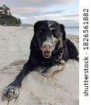 Sandy Black Retriever Dog...