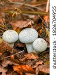 Mushroom Raincoat   A Genus Of...