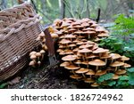 Small photo of Large group of Kuehneromyces mutabilis (synonym: Pholiota mutabilis), commonly known as the sheathed woodtuft, is an edible mushroom. A wicker basket for mushrooms and a pocket knife in the ground.