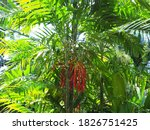 Red betel fruit or betel nut or MacArthur Palm, beautiful cluster of ripe red fruits hanging on tree in the garden