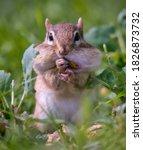 A Chipmunk Stuffing A Peanut...