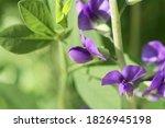 Flower Of A Blue Wild Indigo...