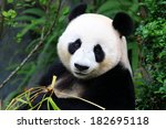 panda bear eating bamboo shoot | Shutterstock . vector #182695118