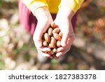 Acorns in the hands. collect...