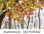 Leaves In Early Winter With...