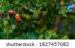 Brown acorns on an oak tree...