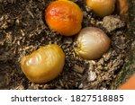 Overripe Tomatoes Starting To...