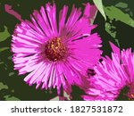 Michaelmas Daisy Flower...