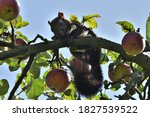 Red Squirrel Climbs A Tree With ...