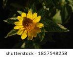 Golden Yellow Flower Of...