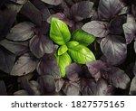 Fresh Green Basil  Ocimum...