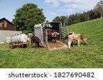 Open Cattle Transporter On A...