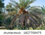 Date Palm Trees Plantation....