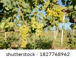 Ripening Bunch Of Grapes On...