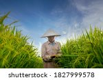 Small photo of Asian woman farmer explores rice yields in rice fields Agriculture, rice cultivation, the staple food of Southeast Asia Organic Handmade Rice Farm