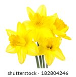 Yellow Daffodils Isolated On A...