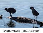 Eurasian Coot Birds Sitting On...