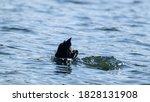 Eurasian Coot  Black Common...
