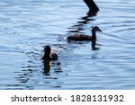 Eurasian Coot With Chick ...