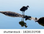 Eurasian Coot  Young Common...