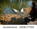 People Feed White Swans In The...