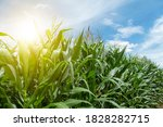 beautiful green corn and... | Shutterstock . vector #1828282715