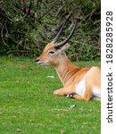 Sitatunga Or Marshbuck Antelop...