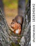 Squirrel Eating Nuts Between...