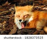 Red Fox And Big Yawn