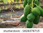 Fresh Growing Papaya Fruits On...