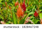 Orange And Red Celosia Flowers...