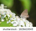 Hairstreak Butterfly Feeding On ...