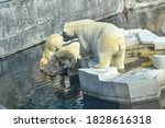 Large Adult Polar Bear With Two ...