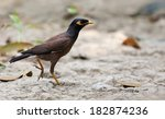 Common Myna Of Indian...