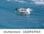 The Seagull Swims In The Waves...