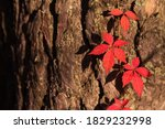 Autumn Red Boston Ivy Leaves In ...
