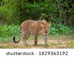Small photo of Indian wild male leopard or panther walking head on with an eye contact in natural green background during monsoon season wildlife safari at forest of central india - panthera pardus fusca