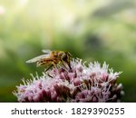 Hover Fly Sitting On A Pink...