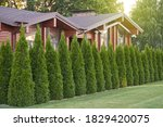 Many Thuja Trees As A Fence In...